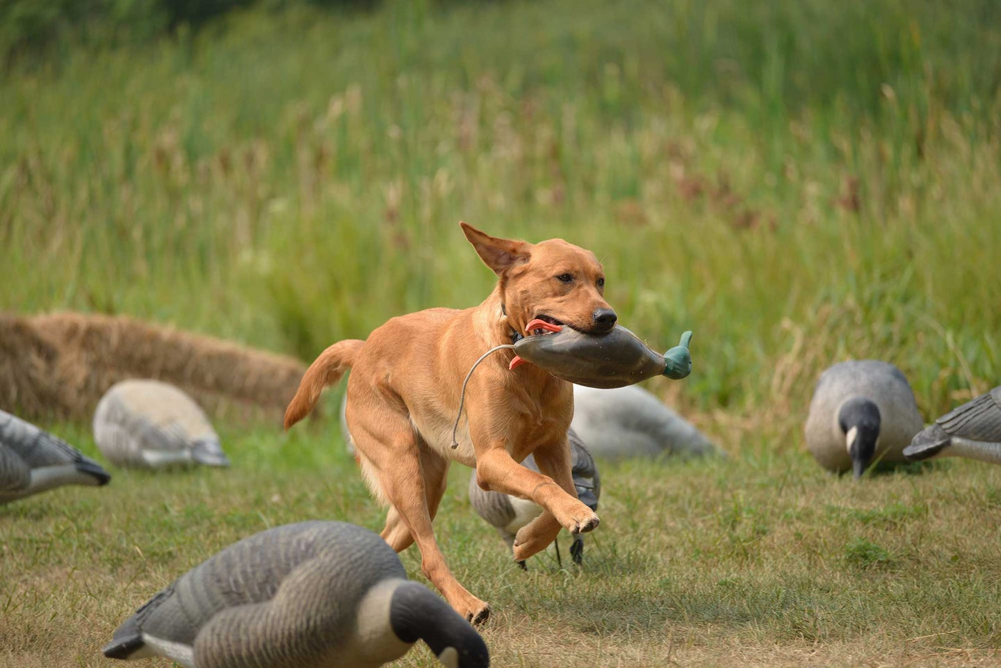Labrador puppy running with duck in his mouth
