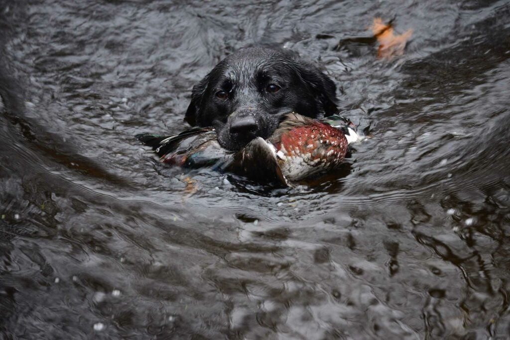 Labrador swimming with duck in his mouth