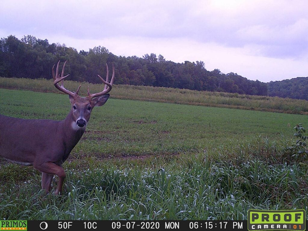 A Proof Camera trail cam photograph showing a whitetail duck walking through a food plot.