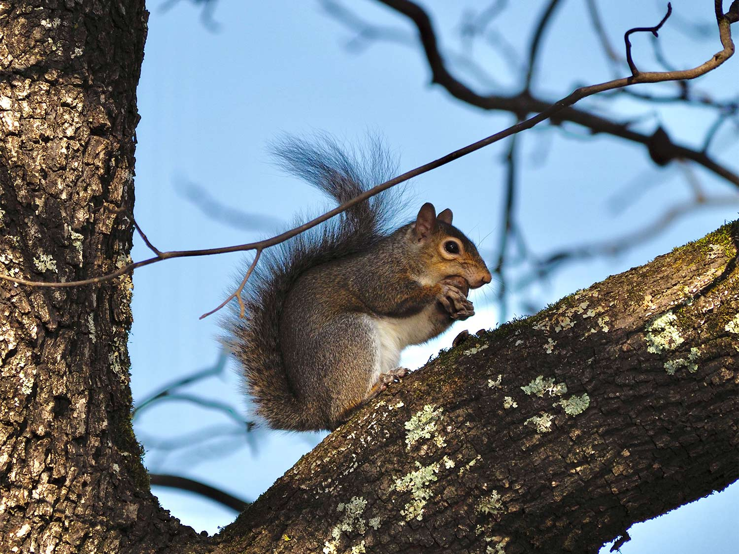 A small squirrel sits in a tree limb and nibbles on foods.