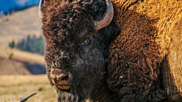 A large buffalo in the large open fields of Montana.