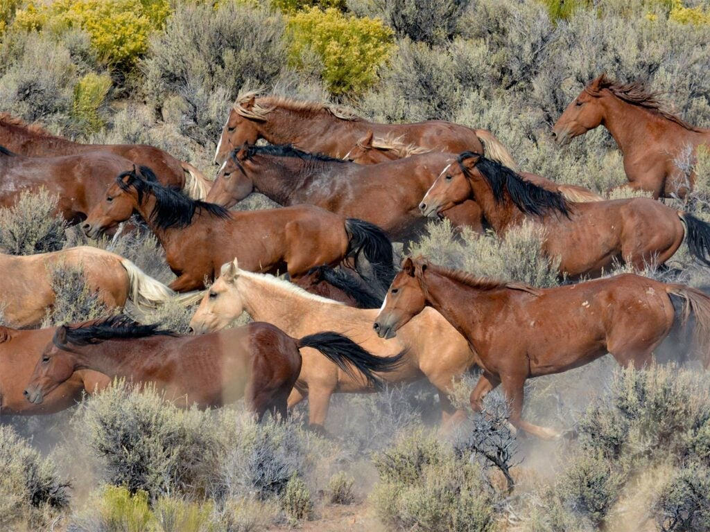 A herd of wild horses stampede across the open brush and plains.