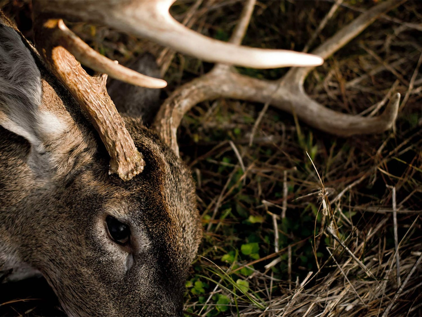 Close up details of a whitetail deer head and antlers with it lying in the dirt.