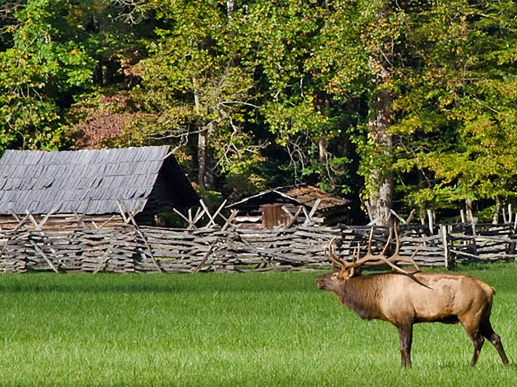 A large bull  elk walks through an open field in front of a split rail fence and farmland.