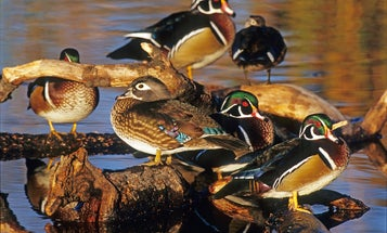 Hunting the Wood Duck Migration: Northern vs. Southern Tactics