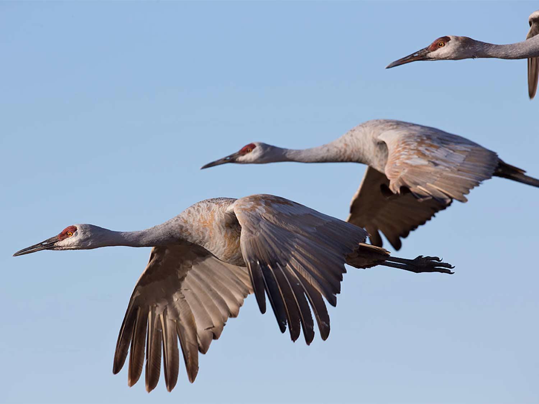 Three sandhill cranes in flight against a clear blue sky.