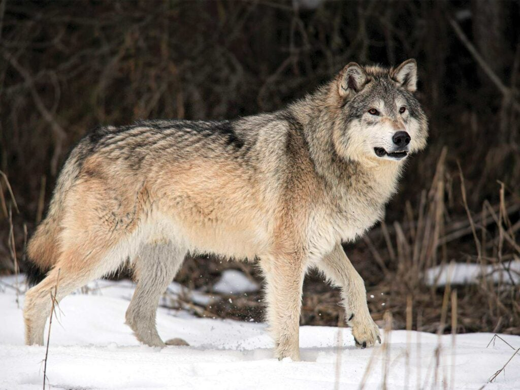 A large gray wolf walks through the snow in the Montana wilderness.
