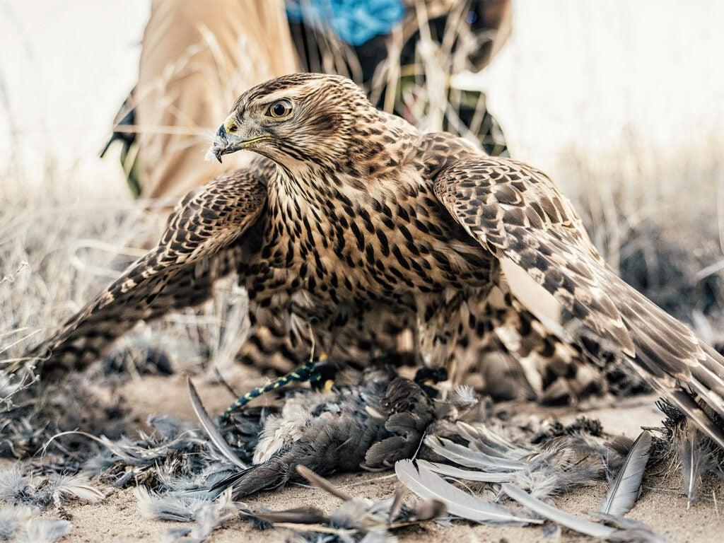 A hunting hawk perched over a recent kill.