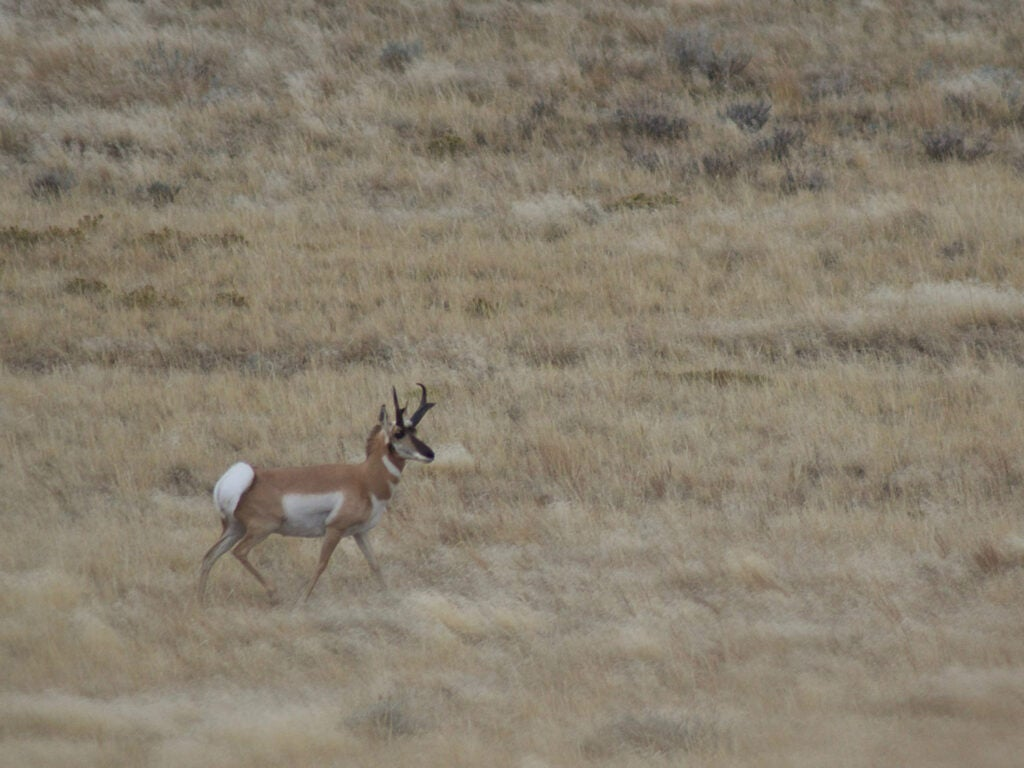 A single pronghorn antelope walks alone in an open field.