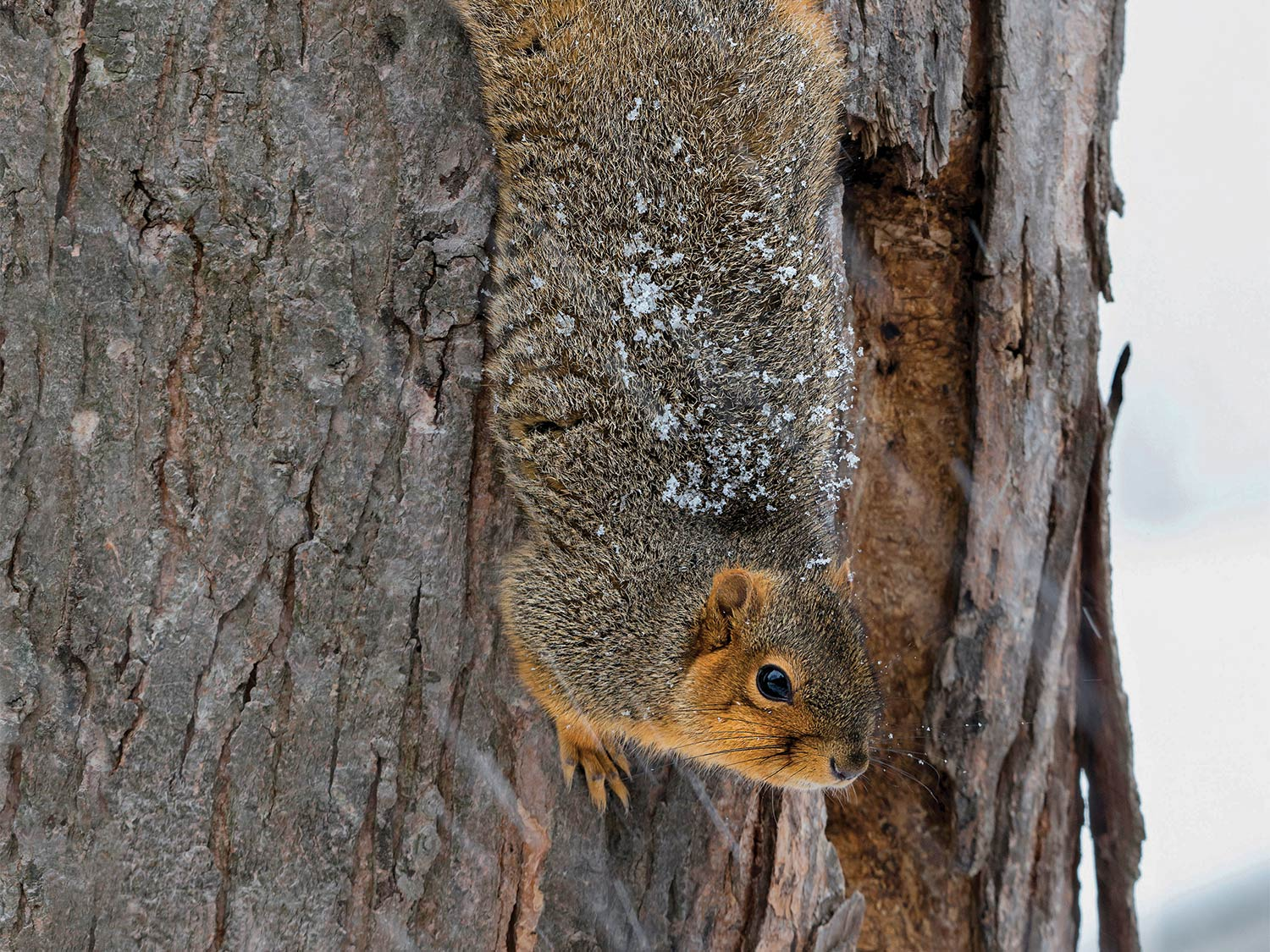A squirrel climbs down the side of a tree in the snow.