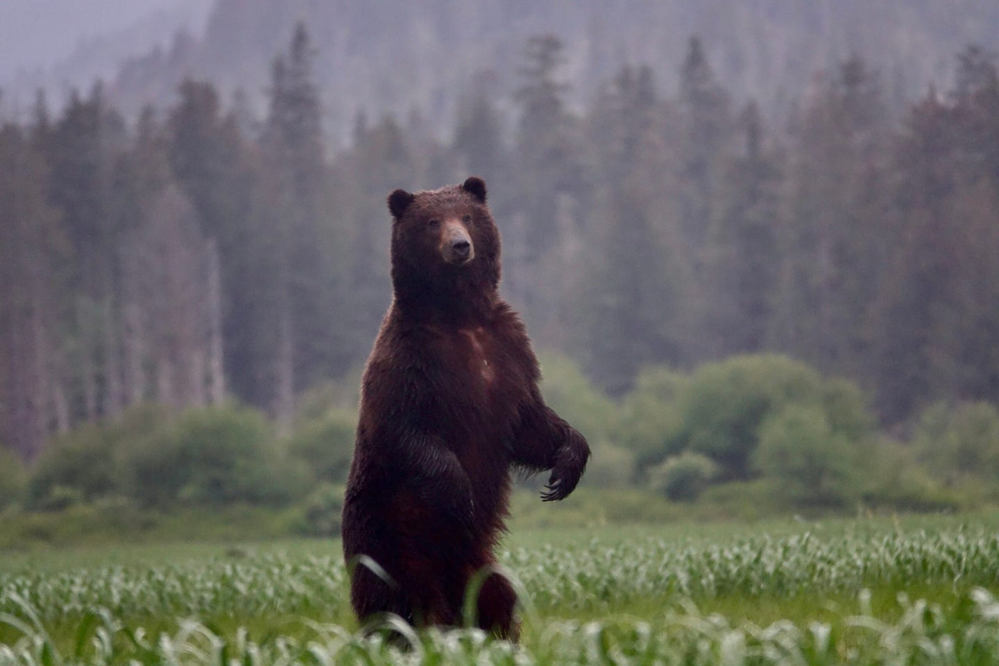 An Alaskan brown bear stands on his hind legs in an open grassy field near a forest.