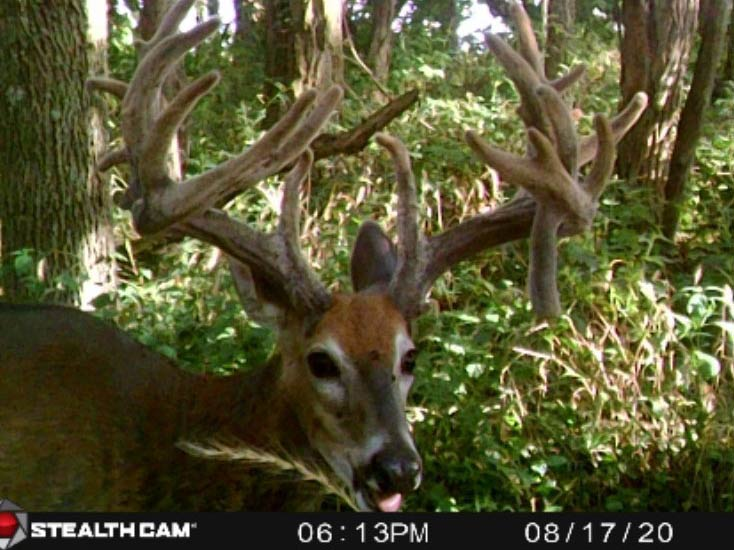 A trail camera footage of a whitetail buck in full velvet antlers.