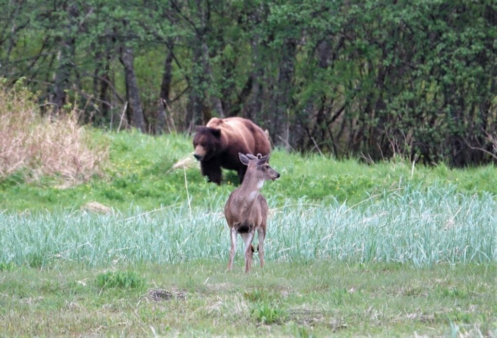 A blacktail deer turns his head to look over his shoulder at a brown bear nearby in a grassy clearing.