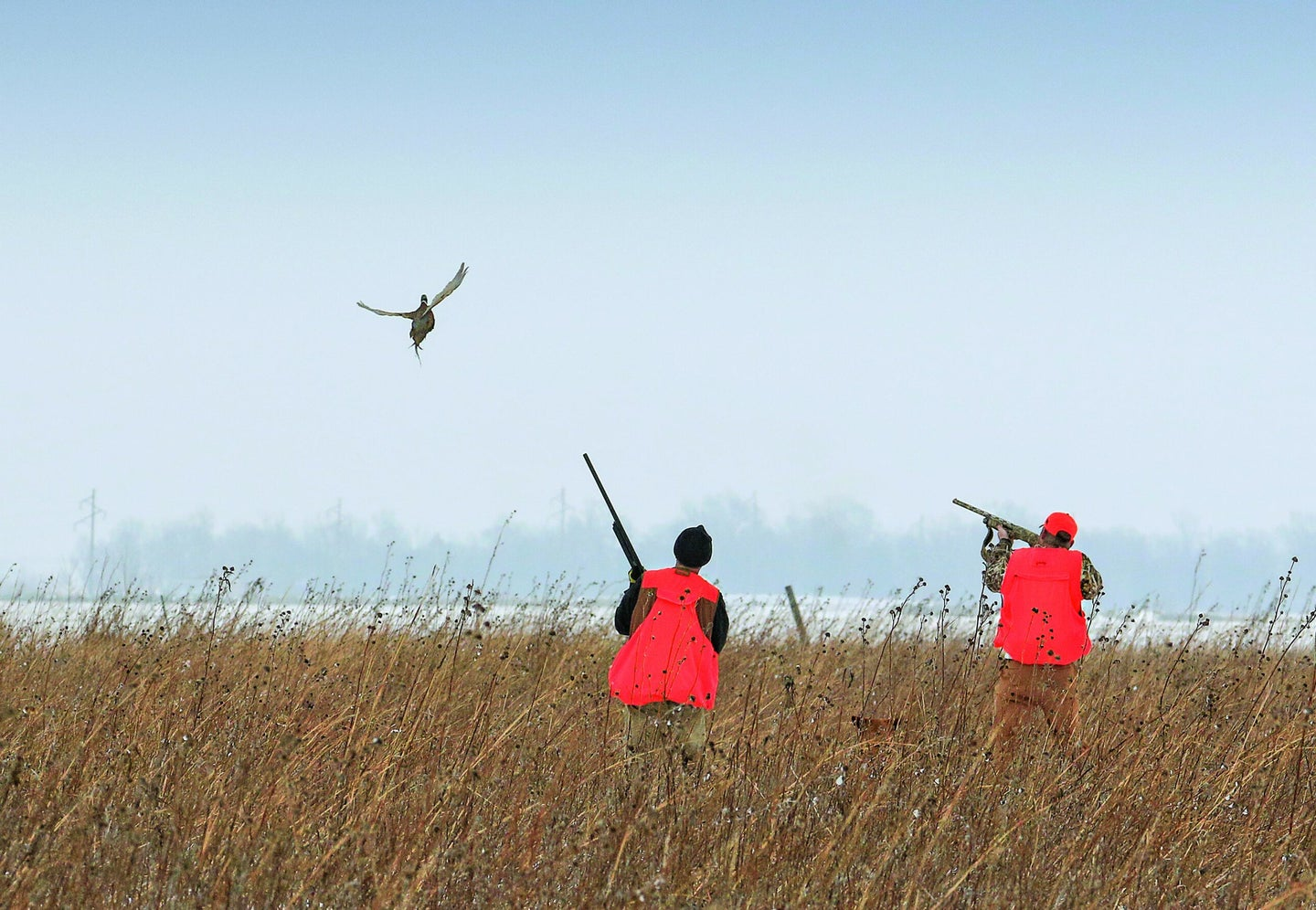 A pair of hunters dressed in blaze orange watch a flushing rooster pheasant.