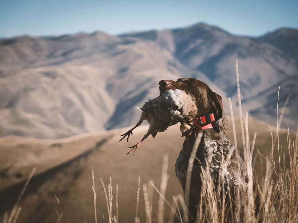 A hunting dog sits in an open range field with a bird in its mouth.