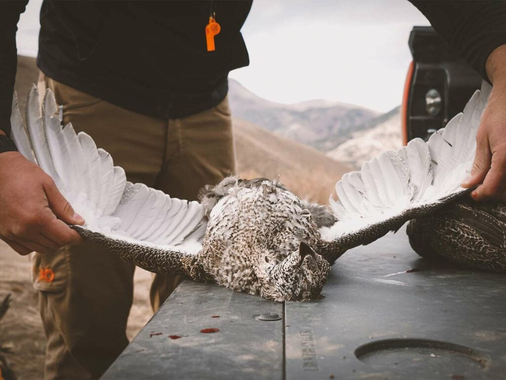A hunter spreads the wings on a sage grouse.