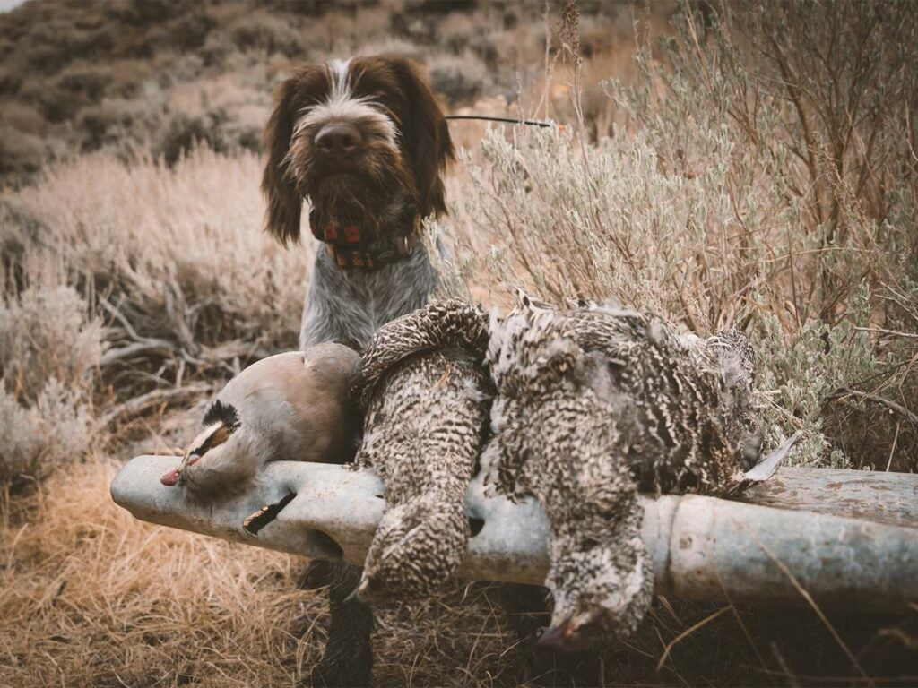 A hunting dog stands beside a limit of chukar and sage grouse birds.