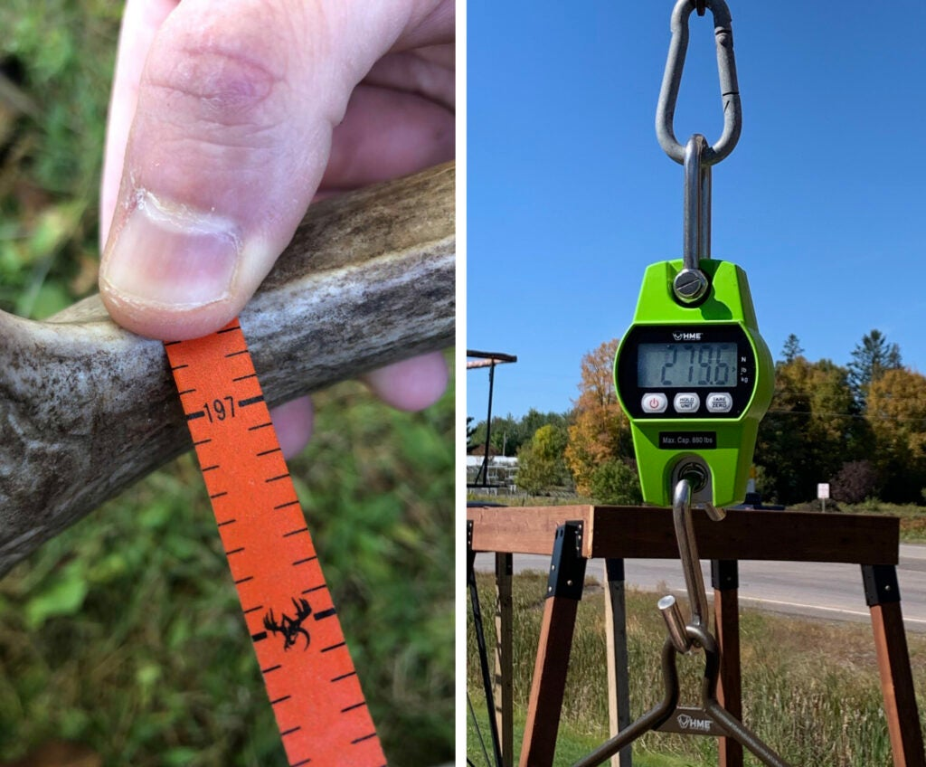 Side-by-side photos of a thumb on orange measuring tape on an antler and a green digital scale with a readout of 279.6 pounds.
