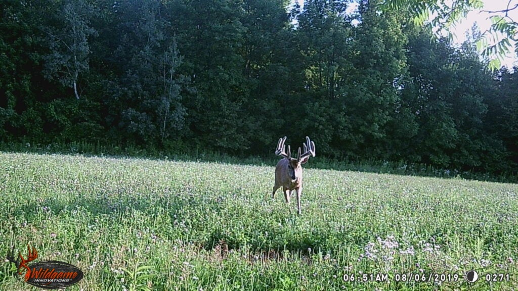 A wildgame trail cam photo in daylight of a big velvet buck.