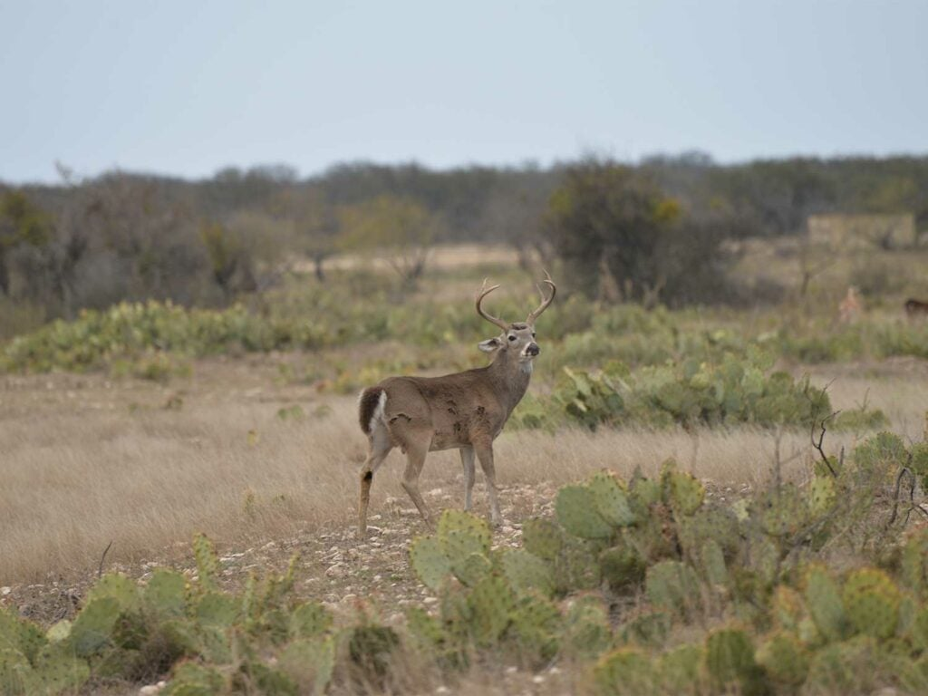 A whiitetail buck walks through a large open field surrounded by cactuses.