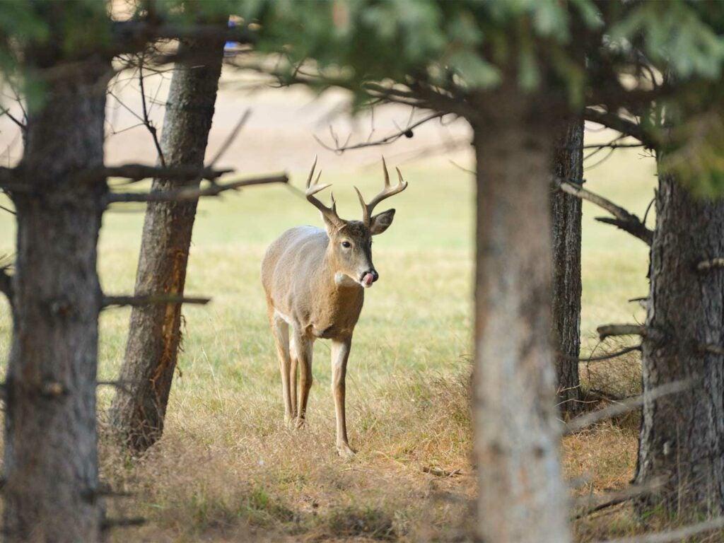 A wingle whitetail deer walks from an open field into a tree line.