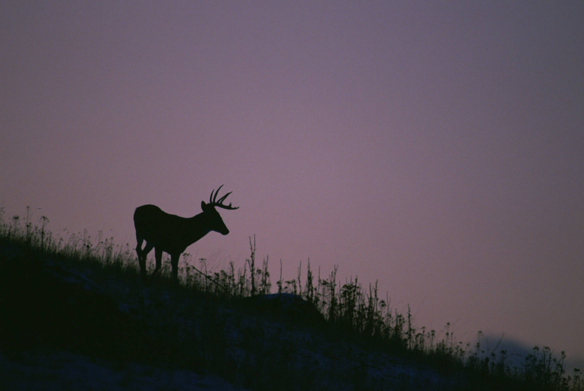 A silhouetted whitetail buck on a ridgeline in front of a purple sky.