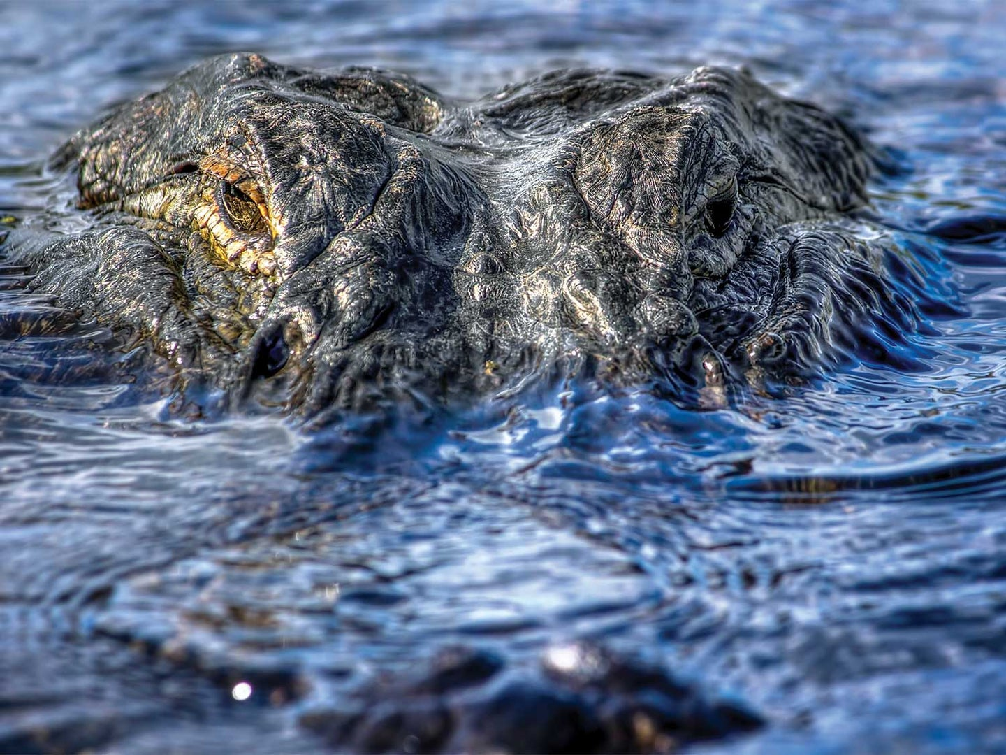 Close up detail of an alligator face breaking the surface of the water.