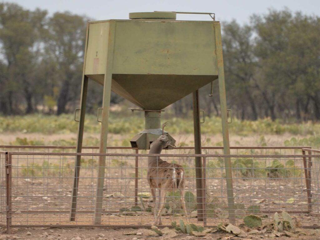 A young deer feeds next to a deer feeder in an open field.