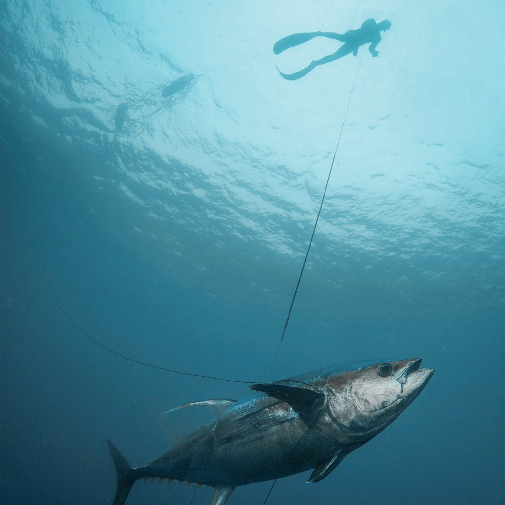 A spearfisher hauls a tuna to the surface of the water on a line.