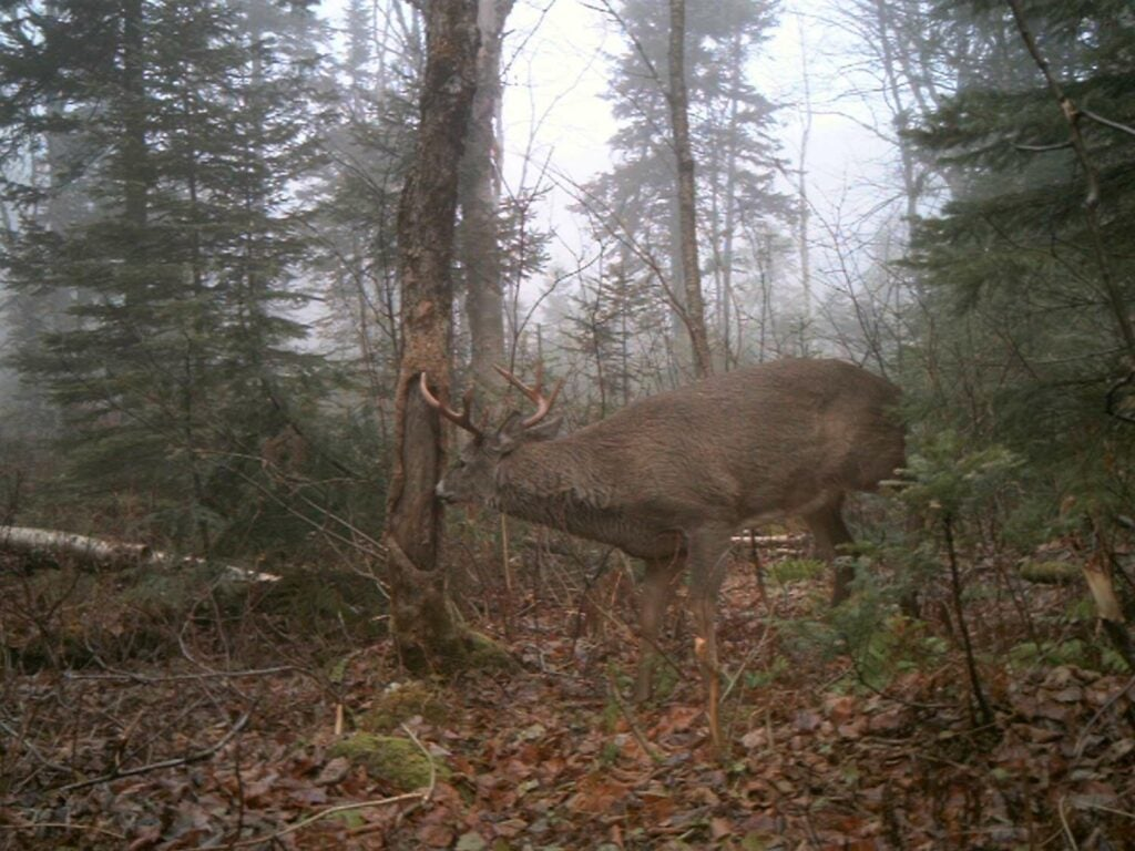 A large buck wanders through the woods and scrapes a signpost rub.