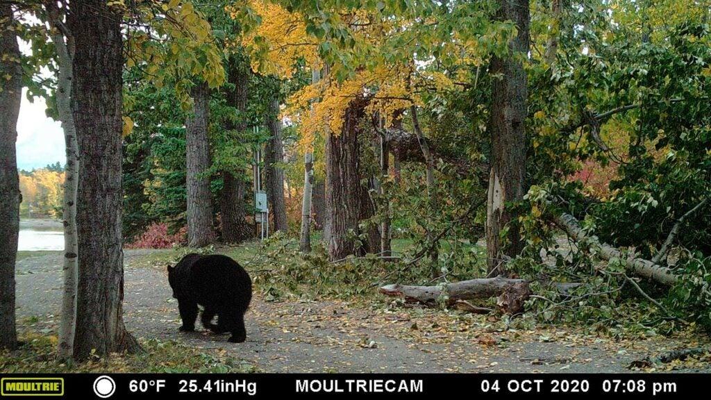 A black bear walks down a driveway.