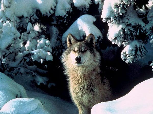 Colorado gray wolf in the snow.