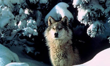 Colorado Voted to Reintroduce Gray Wolves. Here's What You Need to Know