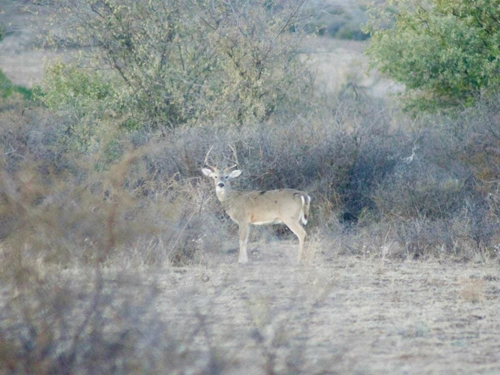 A whitetail deer stands in a large dry field in the western backcountry.