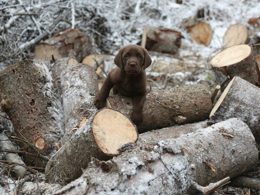 A chocolate lab puppy crawls through chopped trees in the snow.