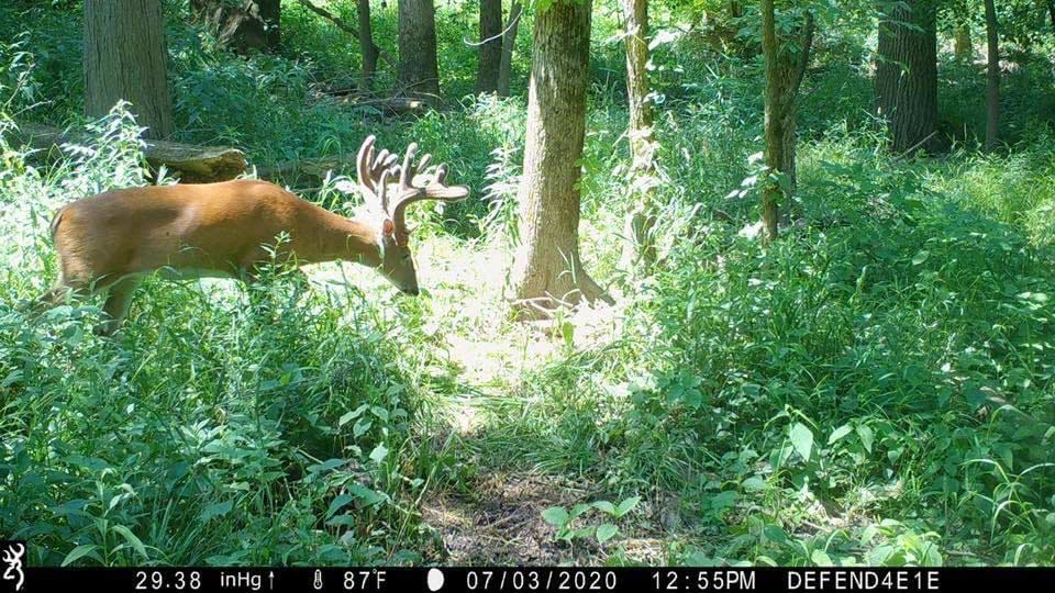 A trail camera photo of a whitetail deer feeding in a clearing.