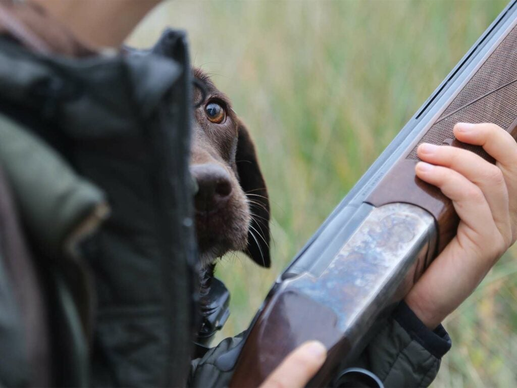 A chocolate lab hunting dog peeks around its hunter, who is holding a shotgun in their hands.