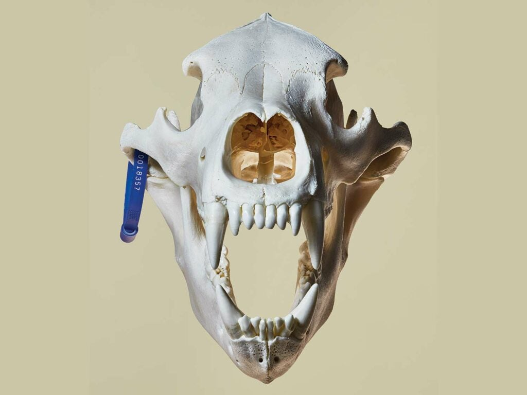 Photograph of a bear skull with a tag on a brown background.