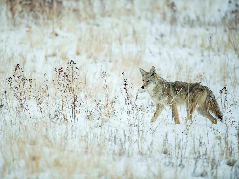 A coyote walks through a snowy field.