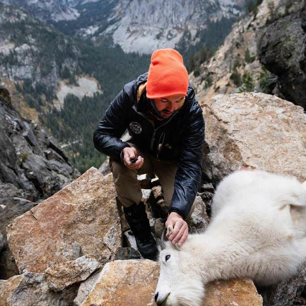 Volunteer Natty Hagood removes a piece of a mountain goat ear for DNA sampling in the Teton Range.