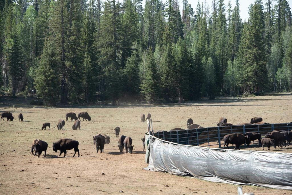 Relocated 57 bison from the North Rim.