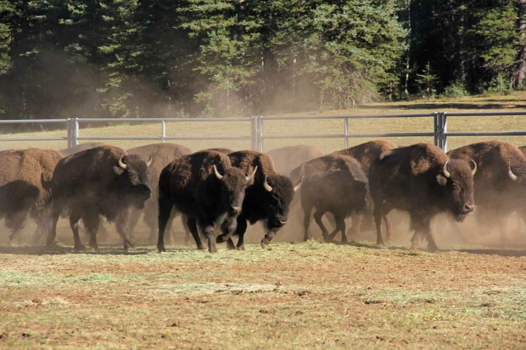 These bison were captured and transferred to the InterTribal Buffalo Council.
