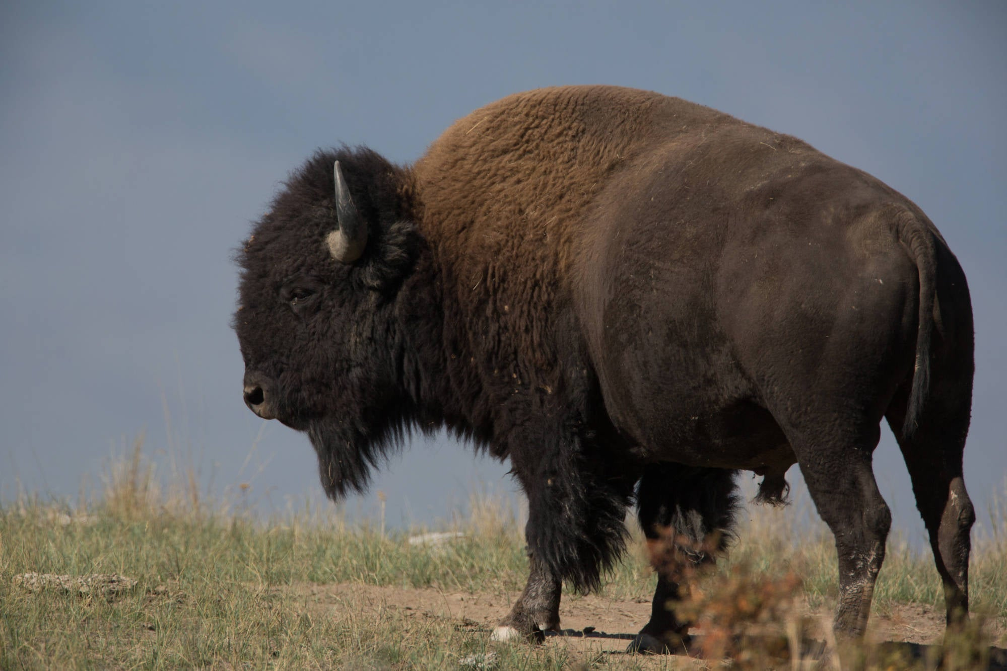 A close up of a bison bull, quartering away.