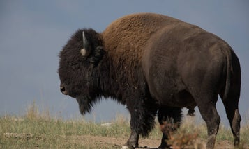 National Parks Service Increasingly Calls on Hunters to Help Cull Non-Native Bison, Mountain Goats