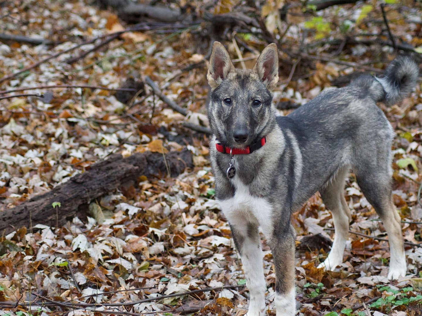 A Laika hunting puppy walking through the woods.