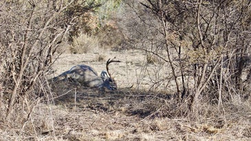 A dropped deer in the shades of wild brush.
