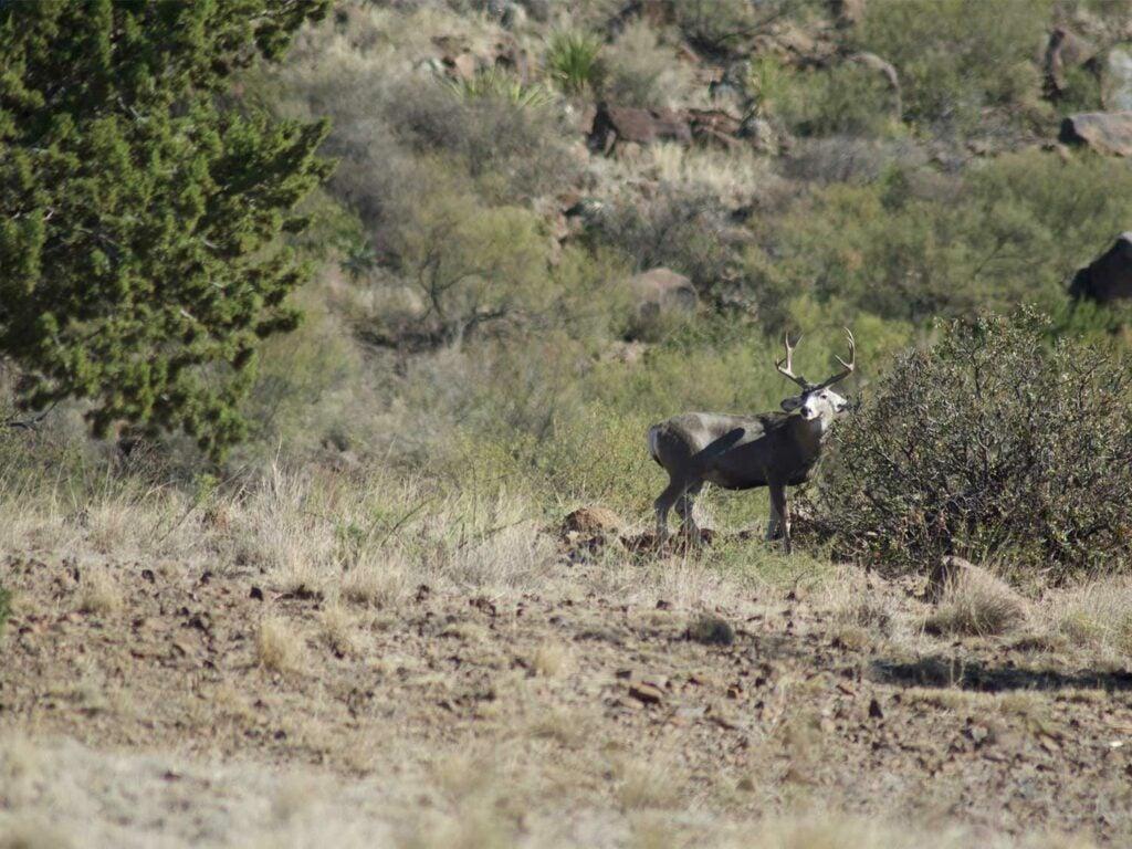 A deer walking in a large western backcountry field.
