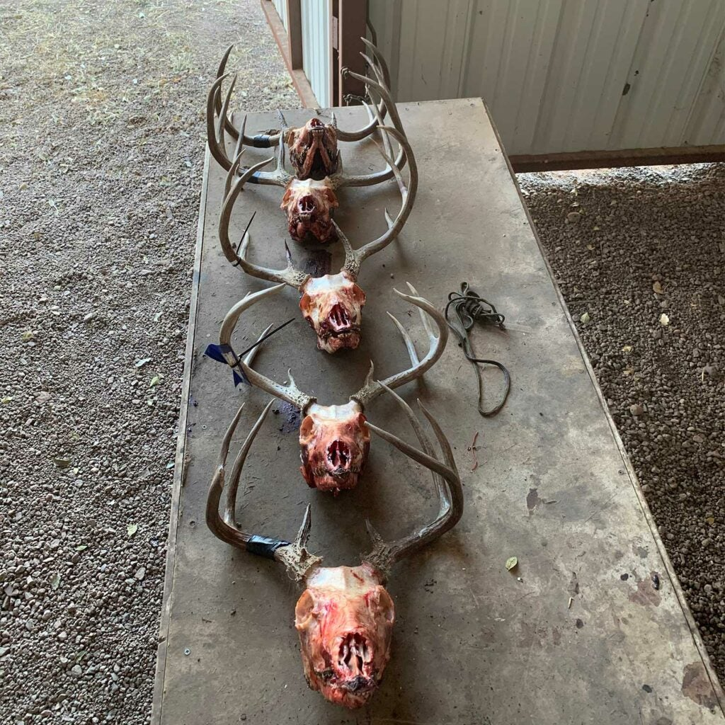 A lineup of four tagged deer skulls and antlers on a block.