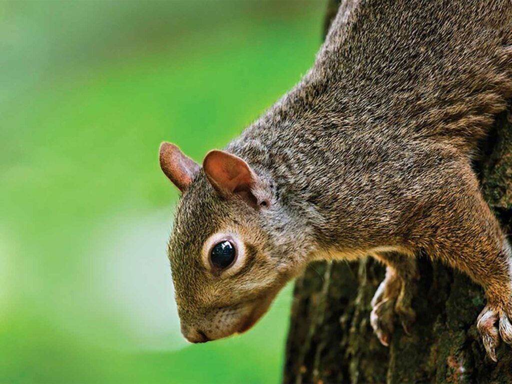A close up image of a squirrel on the truck of a tree.