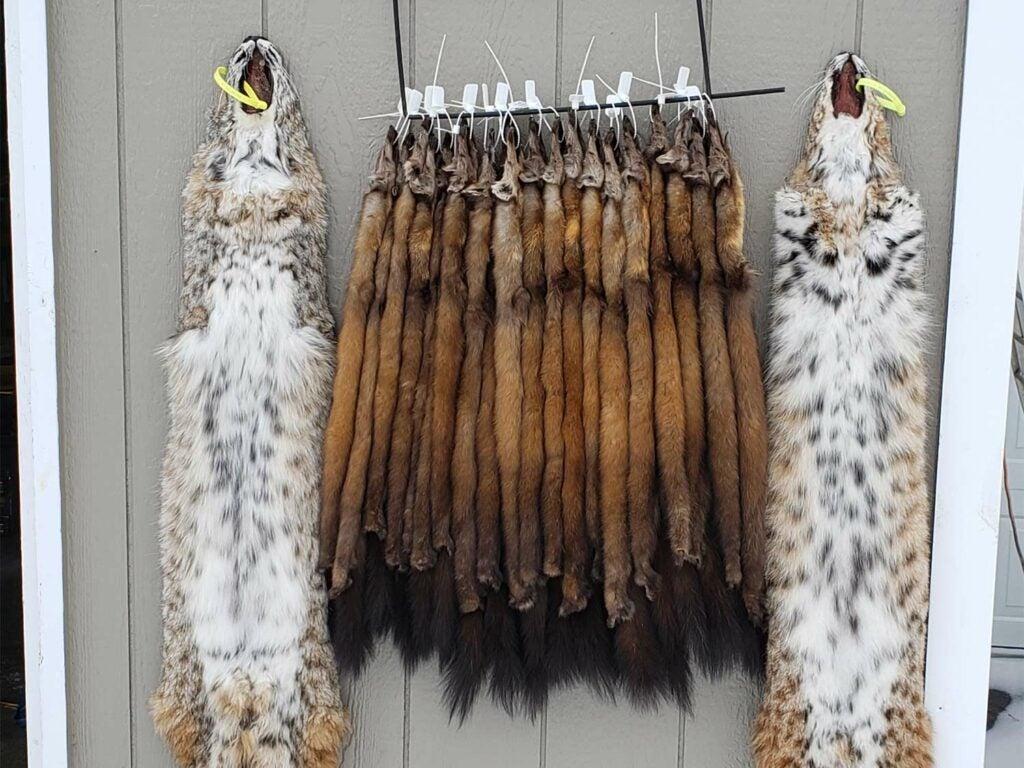A bunch of marten and bobcat pelts hanging on a door.